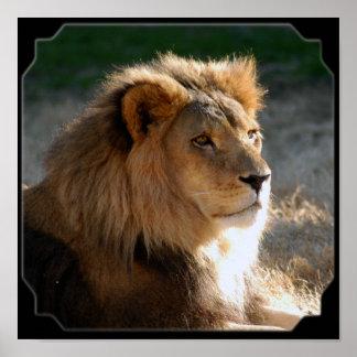 Lion-6775e11x11fram africain affiche