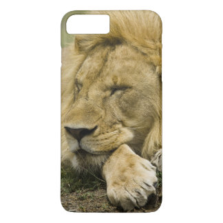 Lion africain, Panthera Lion, fixation endormie Coque iPhone 7 Plus