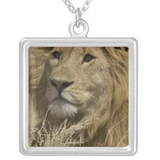 Lion africain, Panthera Lion, portrait d'a Collier