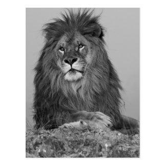 Lion africain se reposant sur la falaise de roche carte postale