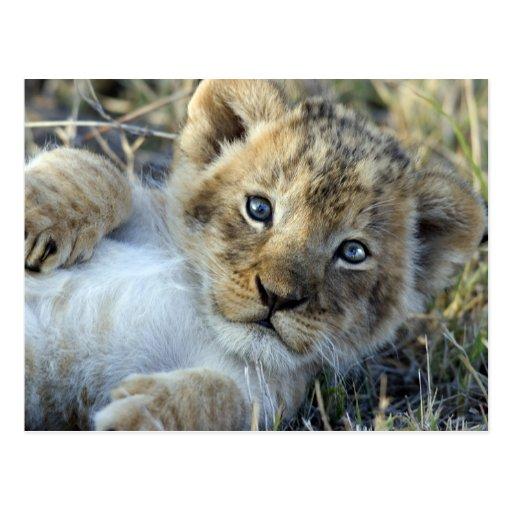 Lion bébé carte postale