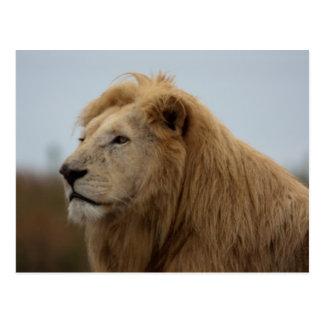 Lion blanc - carte postale