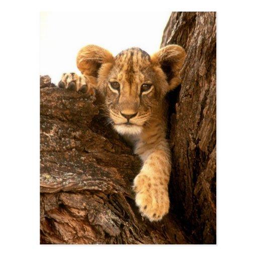 Lion CUB Carte Postale
