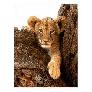 Lion CUB Cartes Postales