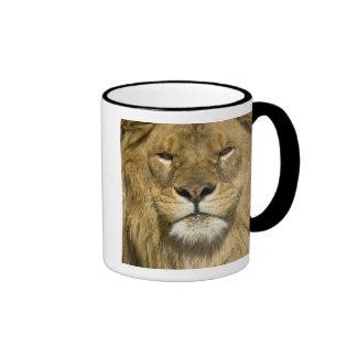 Lion de Barbarie d'Africain, Panthera Lion Lion, Mug Ringer