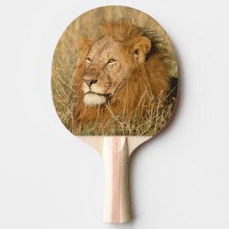 Lion de mâle adulte à la première lumière raquette de ping pong