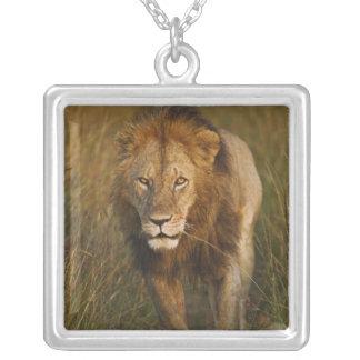 Lion de mâle adulte marchant par des voies de collier