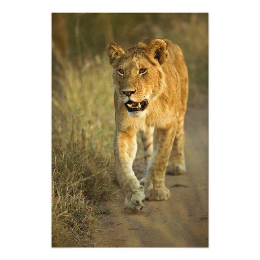 Lion femelle marchant au coucher du soleil, masai  photos d'art