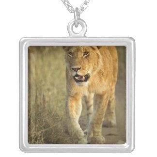 Lion femelle marchant au coucher du soleil, masai collier
