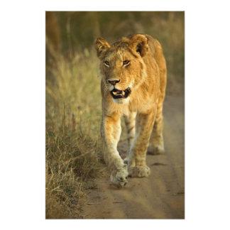 Lion femelle marchant au coucher du soleil, masai  tirages photo