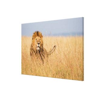 Lion masculin caché dans l'herbe toile