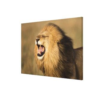 Lion masculin hurlant toile