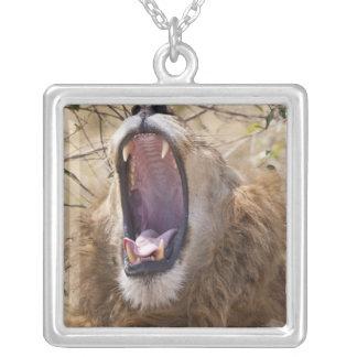 Lion masculin (Panthera Lion) baîllant, masai Mara Collier