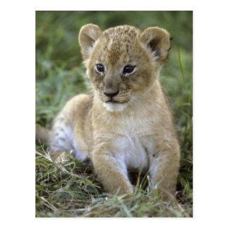 Lion, Panthera africains Lion), la Tanzanie, Carte Postale