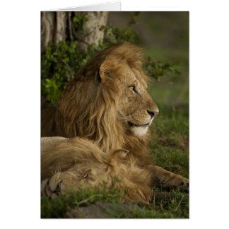Lion, Panthera Lion, Mara inférieur, masai Mara Carte De Vœux