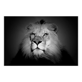 Lion - photographie d'animal sauvage posters