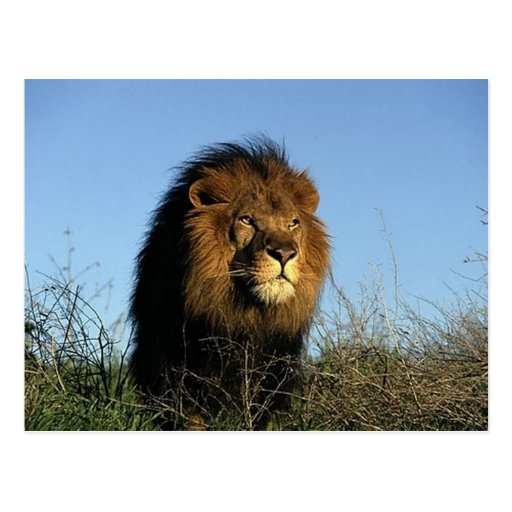 Lions dans les cadeaux et le tee - shirt sauvages carte postale