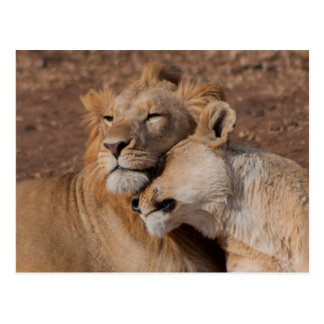 Lions en carte postale d'amour