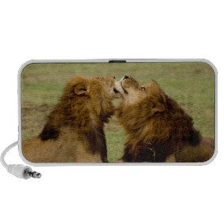 Lions masculins (Panthera Lion) se toilettant, Haut-parleur Notebook