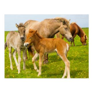L'Islande. Dyrholaey. Poulains islandais de cheval Carte Postale