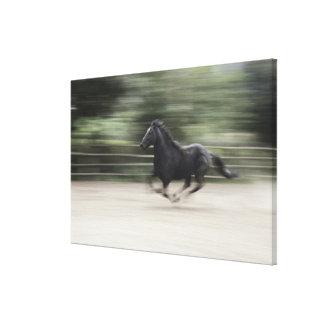 L'Italie, Latium, galoper de cheval de Maremma Toiles