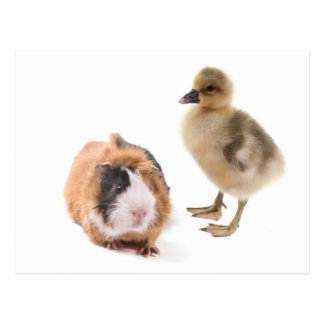 little goose and guinea pig cartes postales