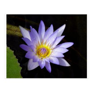 lotus bleu du Nil Cartes Postales