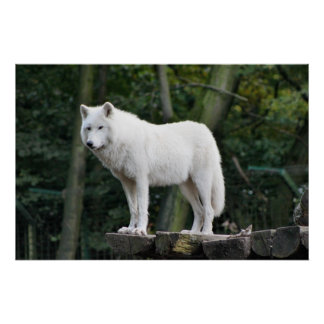 Loup blanc sauvage affiches