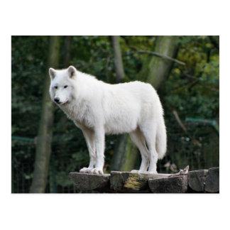 Loup blanc sauvage carte postale