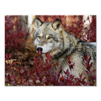Loup dans le feuillage rouge photographes