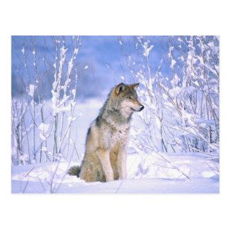 Loup de bois de construction se reposant dans la carte postale