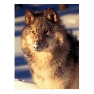 Loup gris dans la neige carte postale