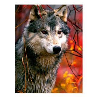 Loup gris dans le beau feuillage rouge et jaune cartes postales