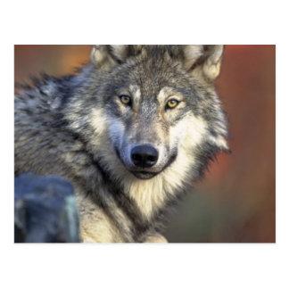 Loup gris et blanc cartes postales
