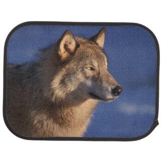 loup gris, lupus de Canis, dans les collines de 2 Tapis De Sol
