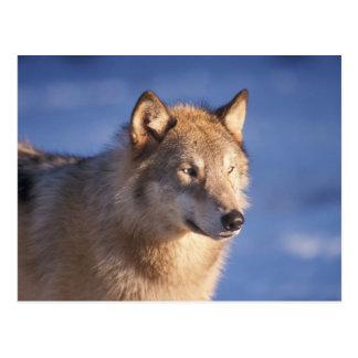 loup gris, lupus de Canis, dans les collines des 2 Cartes Postales