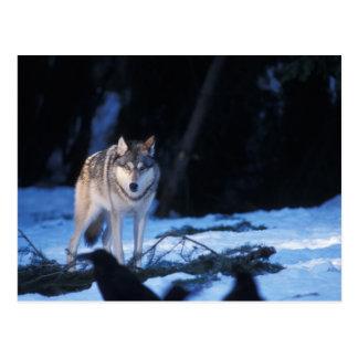 loup gris, lupus de Canis, dans les collines des 3 Carte Postale