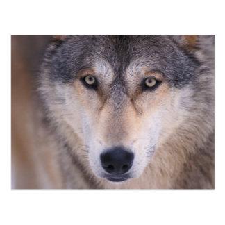 loup gris, lupus de Canis, fin des yeux dedans Carte Postale