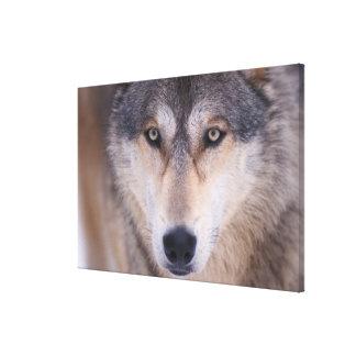 loup gris, lupus de Canis, fin des yeux dedans Impression Sur Toile