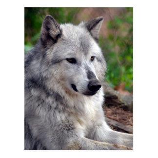 Loup gris Pose-168 Carte Postale
