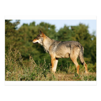 Loup gris scandinave cartes postales