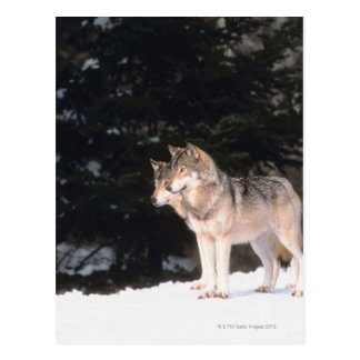 Loups gris carte postale