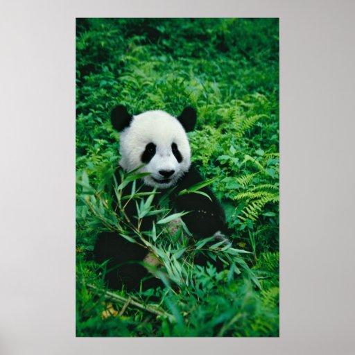 l 39 petit animal de panda g ant mange le bambou dans posters zazzle. Black Bedroom Furniture Sets. Home Design Ideas