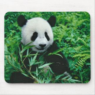 L'petit animal de panda géant mange le bambou dans tapis de souris