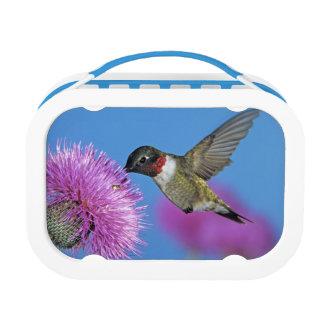 Lunch Box colibri Rubis-throated, Archilochus 4