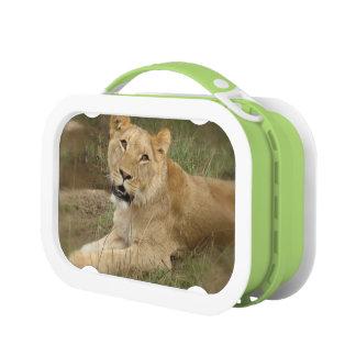 Lunch Box Vagabondage de lion