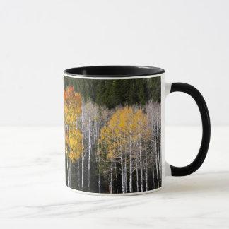 L'Utah, Etats-Unis. Arbres d'Aspen (Populus Mug