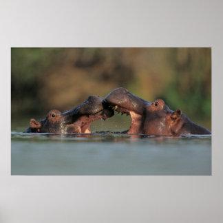 Lutte d'hippopotames (hippopotame Amphibius) Affiches