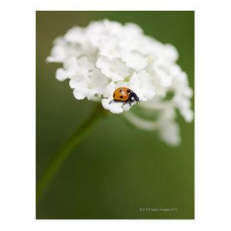 Macro image de Ladybird sur une fleur sauvage Carte Postale