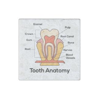 Magnet En Pierre Diagramme d'anatomie de dent